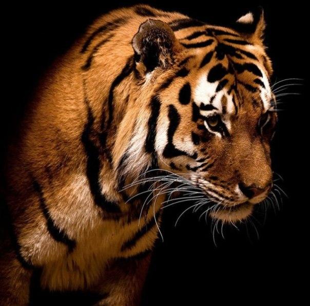 tigers-29a